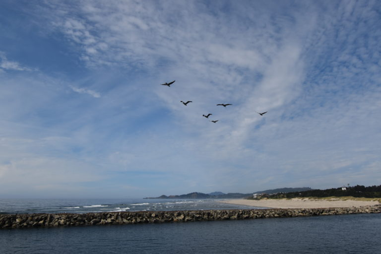 A flock of pelicans tag along the ship as we leave Newport, OR. Credit: M. Elend, University of Washington, V.21
