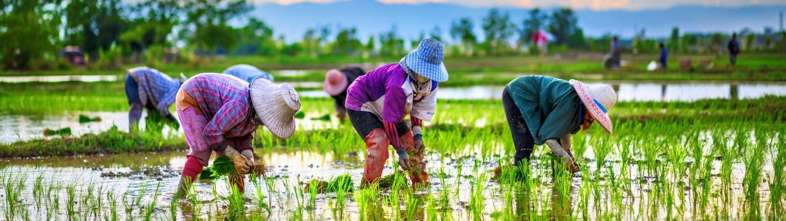 Workers working on a rice farm ankle deep in water with beautiful mountains in the background.