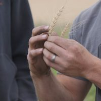 Hands wheatbarley