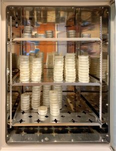 Petri dishes stacked in a metal cabinet.