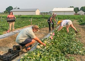 Four people picking cataloupe in field.