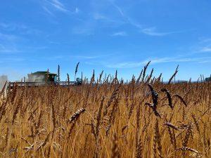 Combine works in wheat field.