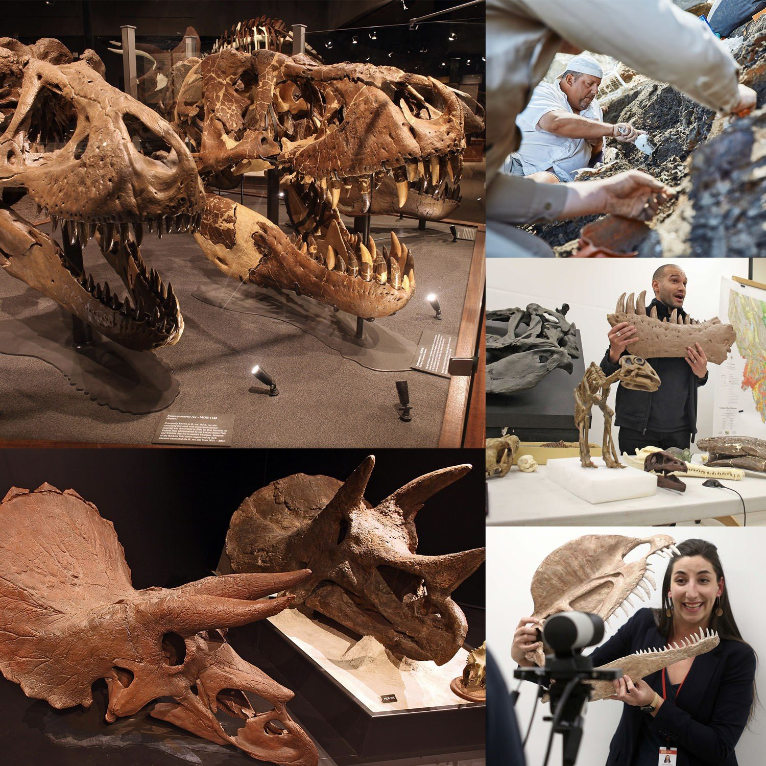 A collage of T. rex and triceraptops skulls on display,  two museum staff members giving presentations while holding or pointing to a paleo fossil, and a couple of staff or students digging up a triceratops fossil.