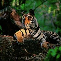 A bengal tiger laying down in the jungle of Bandhavgarh National Park, Madhya Pradesh, India. Thomas D. Mangelsen  |  The Legacy Reserve Collection