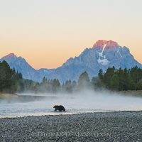 Legendary Grizzly 399 crossing the Snake River at dawn with Mt. Moran in the distance. Thomas D. Mangelsen  |  The Legacy Reserve Collection