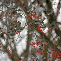 Bohemian waxwings massing in the branches of a mountain ash and boisterously feasting upon a bounty of ripened red fruit at minus 25 degrees Fahrenheit near Polson, Montana. Thomas D. Mangelsen  |  The Legacy Reserve Collection