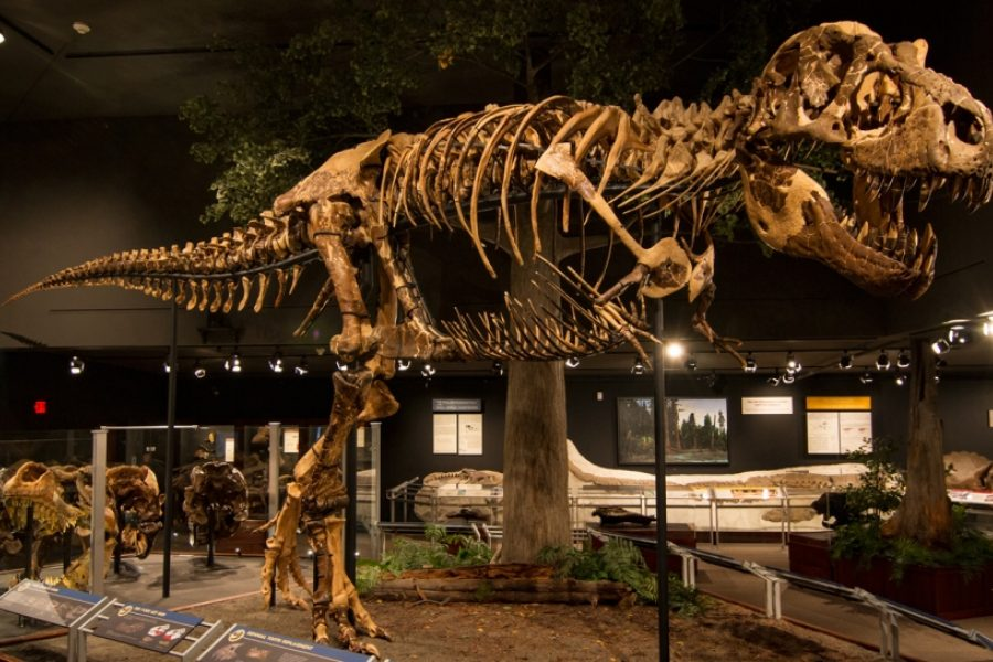 Montana's T. rex. at Museum of the Rockies.