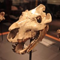 Skull of the oreodont Promerycochoerus (MOR 764).