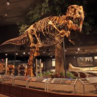 "Tyrannosaurus rex (MOR 980; ""Montana's T.rex"") in the Hall of Horns & Teeth."