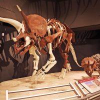 """subadult Triceratops (MOR 3027; """"Yoshi's Trike"""") next to juvenile Triceratops (MOR 2951""""DFJuvieTrikeIII"""")"""