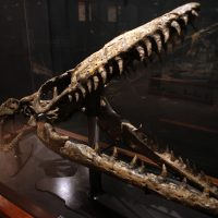 Skull of Mosasaurus (MOR 006) on right and skull of a plesiosaur (MOR 2577) on the left.