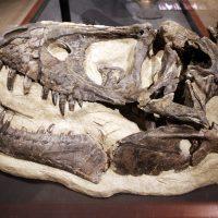 Skull of Daspletosaurus horneri (MOR 590; holotype specimen)