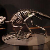 Mounted skeleton of hatchling Maiasaura peeblesorum.