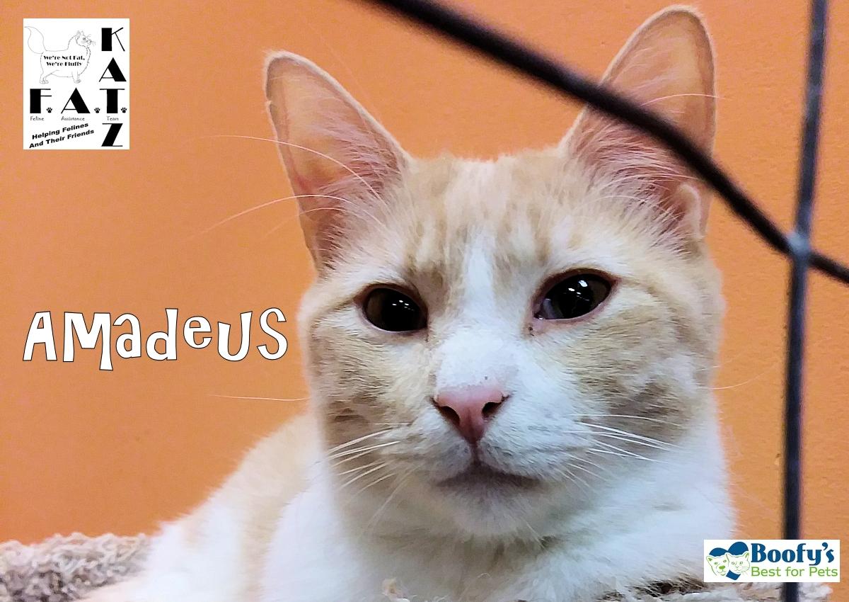 Amadeus Adoptable buff tabby cat in Albuquerque