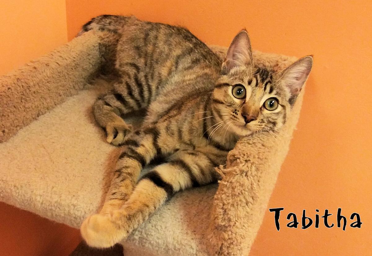 Tabitha  adoptable kitten
