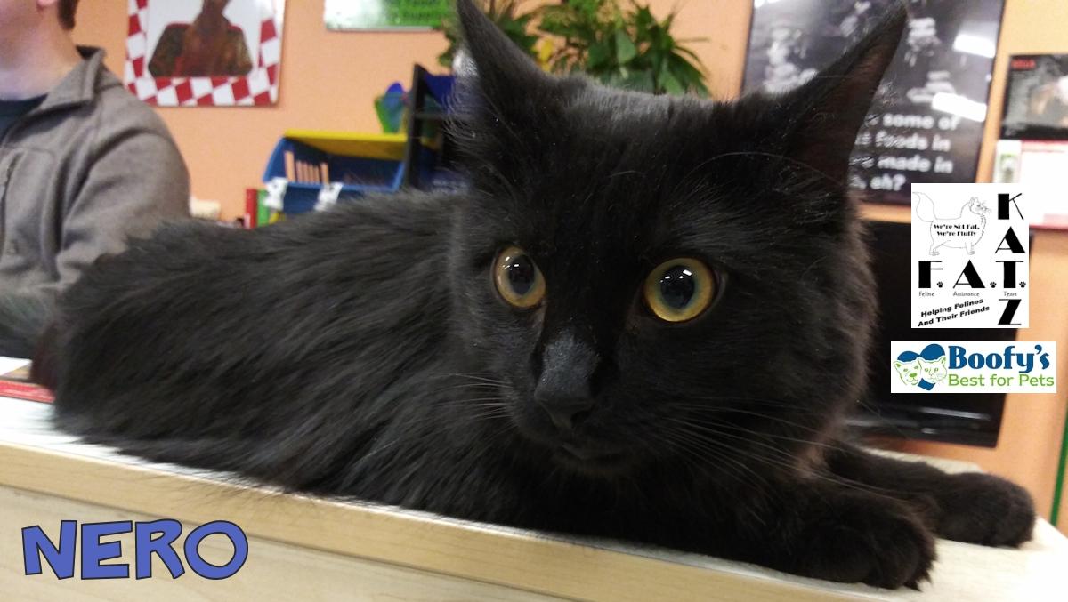 Nero adoptable cat in Albuquerque