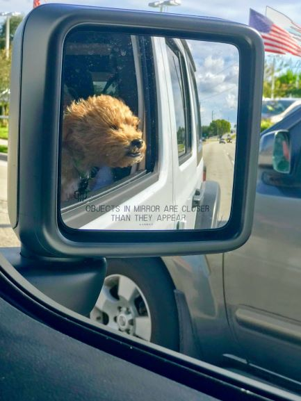 poodle on a car ride