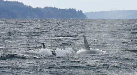 Orcas in Commencement Bay