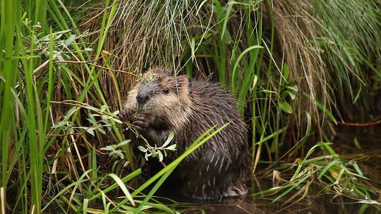 Beaver%20Nibbling.jpg