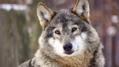 wolf%20540_304.jpg