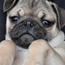 Pug Puppies For Sale Puppyspot