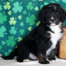 Bernedoodle Puppies For Sale Puppyspot