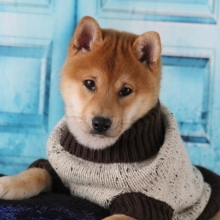 Shiba Inu Puppies For Sale Puppyspot
