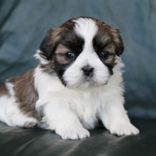 Shih Tzu Puppies For Sale Puppyspot
