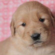 Golden Retriever Puppies For Sale Puppyspot