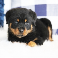 Rottweiler Puppies for Sale | PuppySpot