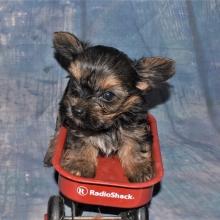 Yorkshire Terrier Puppies for Sale   PuppySpot
