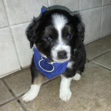 Australian Shepherd Puppies for Sale | PuppySpot