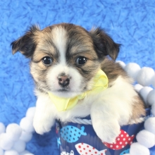 Chihuahua Puppies For Sale Puppyspot