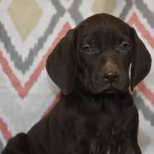 German Shorthaired Pointer Puppies For Sale Puppyspot