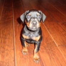 Doberman Pinscher Puppies For Sale Puppyspot