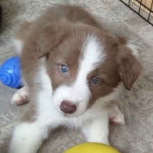 Border Collie Puppies For Sale Puppyspot