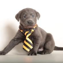 Labrador Retriever Puppies For Sale Puppyspot