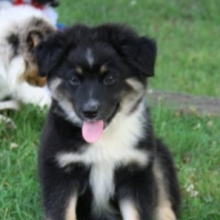 Australian Shepherd Puppies for Sale | PuppySpot