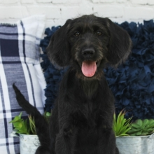 Labradoodle Puppies for Sale | PuppySpot