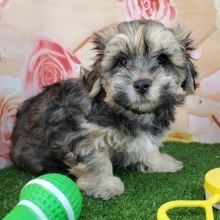 Havanese Puppies for Sale | PuppySpot
