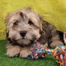 Havanese Puppies for Sale   PuppySpot