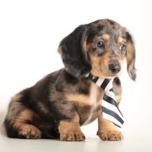Dachshund Puppies for Sale | PuppySpot