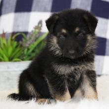 German Shepherd Dog Puppies for Sale | PuppySpot