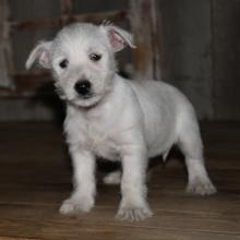 West Highland White Terrier Puppies for Sale | PuppySpot