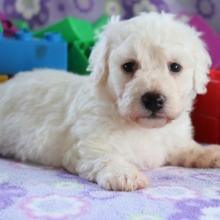 Bichon Frise Puppies for Sale | PuppySpot