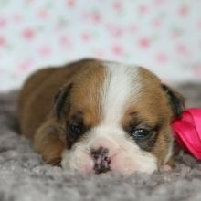 Bulldog Puppies for Sale | PuppySpot
