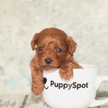 Cavapoo Puppies for Sale | PuppySpot