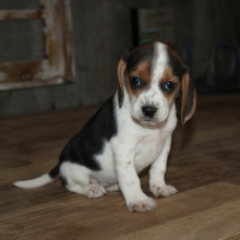 beagles for sale seattle