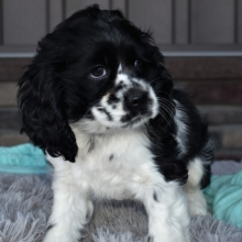 Cocker Spaniel Puppies For Sale Puppyspot