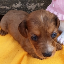 Dachshund Puppies For Sale Puppyspot